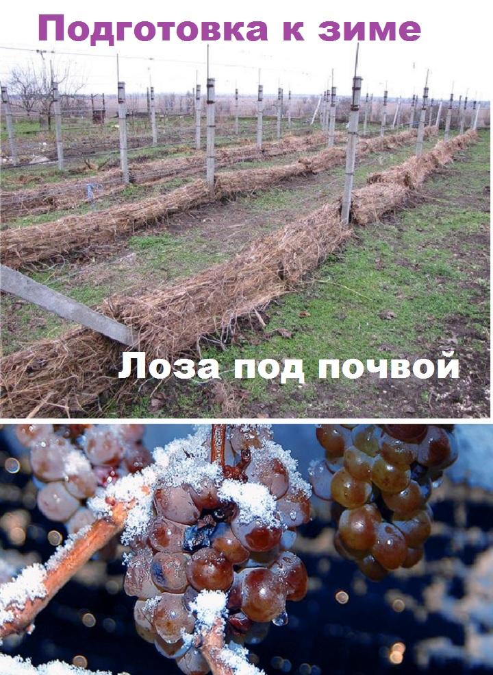 Укрытие почвой лоз винограда