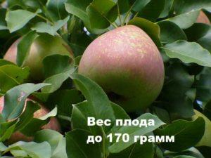 Вес плода сорта Мраморная