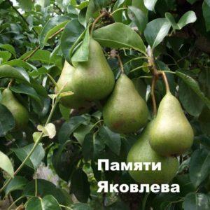 Сорт груши Памяти Яковлева