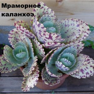 Каланхоэ мраморное