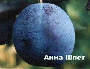 Плод сливы сорта Анна Шпет