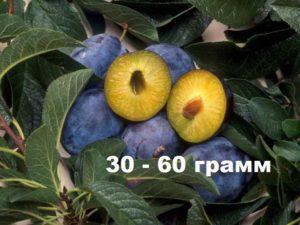 Плод сливы Богатырская