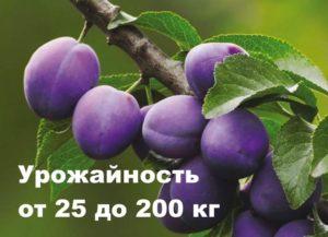 До 200 кг с дерева урожайность сорта Домашняя слива