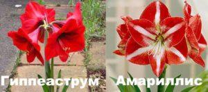 Красные цветы амариллиса и гиппеаструма