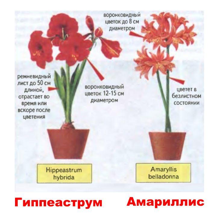 Различия цветов амарилисовых