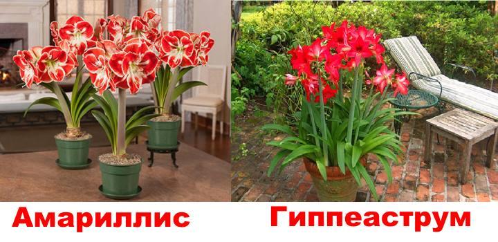 В горшках цветы амариллиса и гиппеаструма