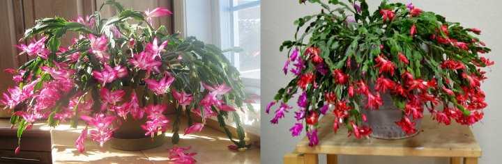 Декабрист с розовыми и красными цветами