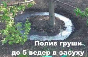Правильный полив груши