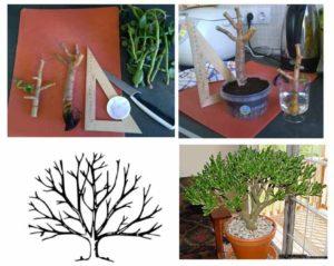 Денежного дерева обрезка