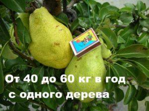 Урожайность груши Ноябрьская