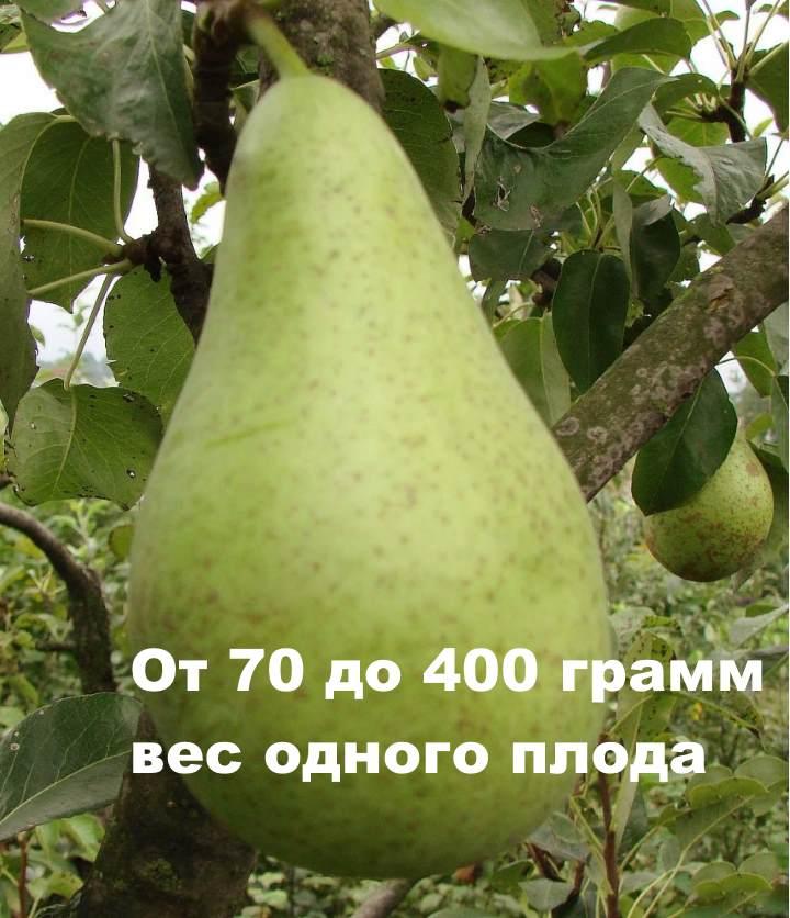 Вес плода ноябрьской груши