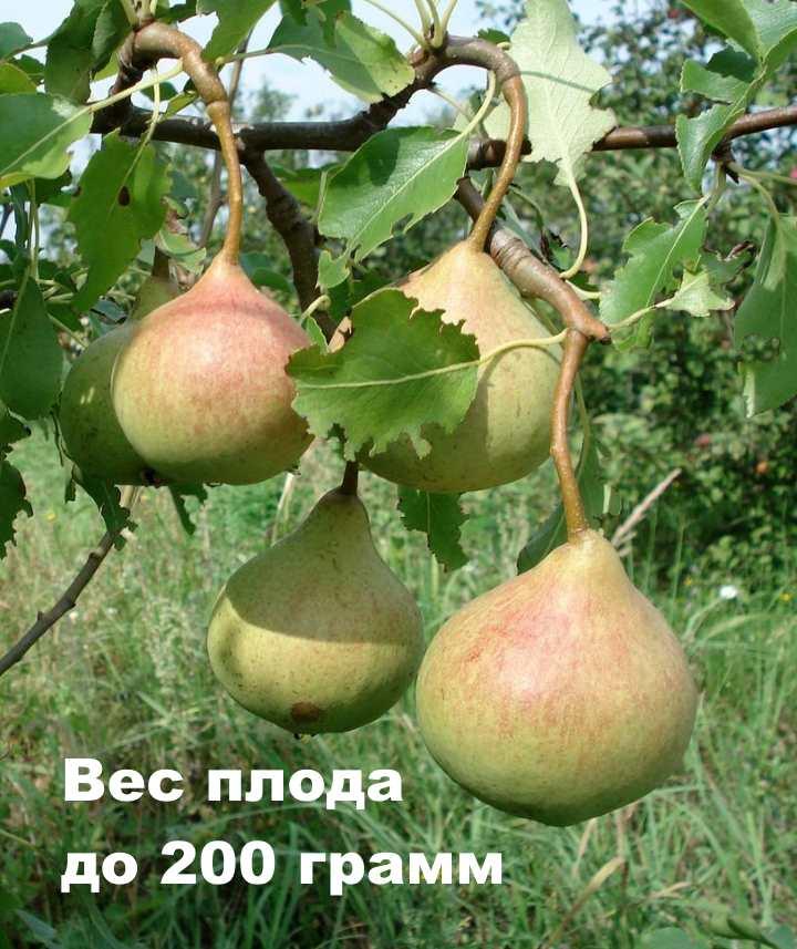 Плоды сорта груши Памяти Яковлева