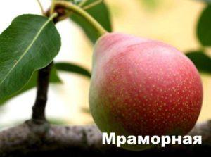 Плод груши сорта Мраморная