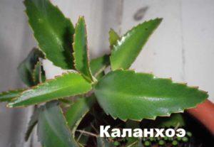 листы каланхоэ