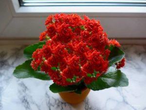 красное цветение каланхоэ