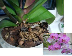 Показания к пересадке орхидеи - корни наружу