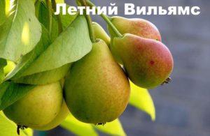 Сорт груши летний вильямс