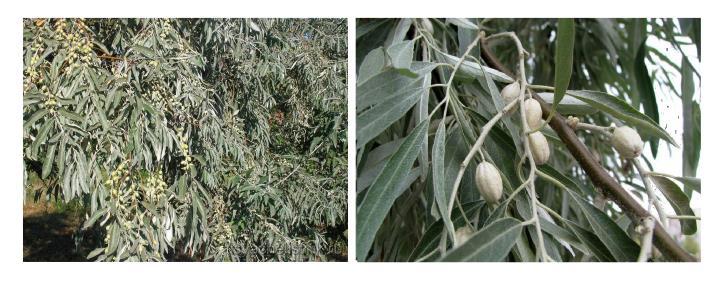 Куст и плоды узколистного лоха