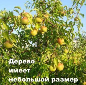Дерево груши Памяти Яковлева