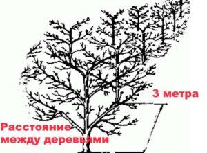 Расстояние между деревьями. Схема