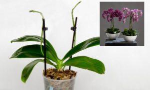 Орхидея с палочками