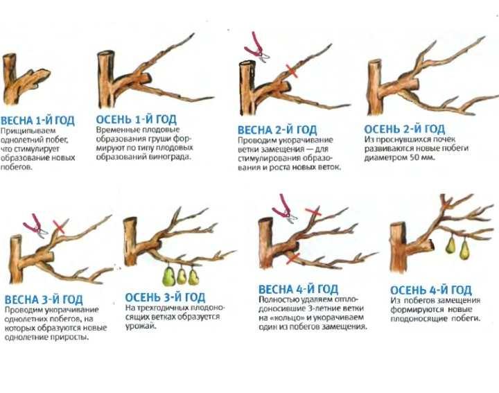 Правильная обрезка грушевого дерева