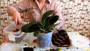 Домашняя пересадка орхидей