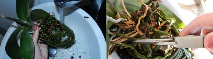 Упаковка орхидей в горшки