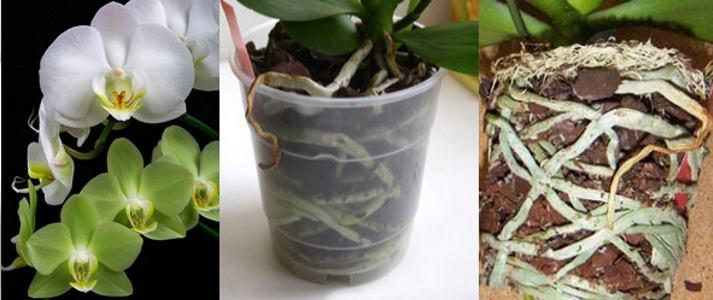 Подготовка орхидеи к пересадке