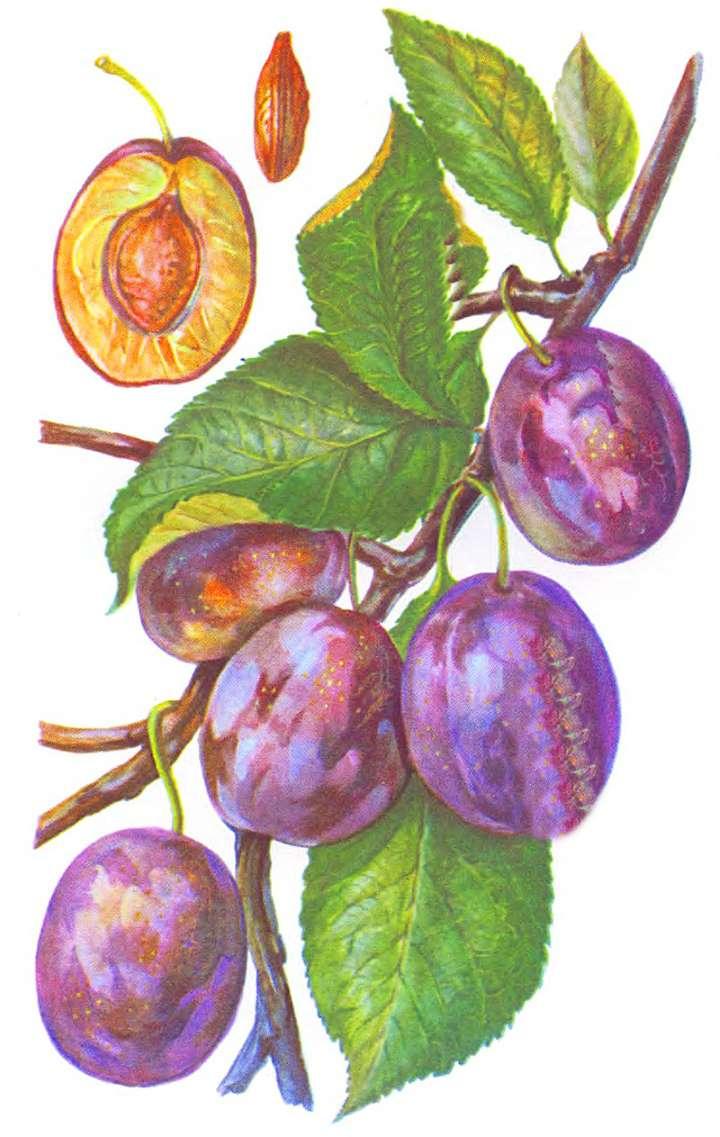 Плоды сливы Домашняя в разрезе