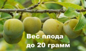 Маленькие плоды сорта ренклод колхозный