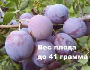 Вес плода Ренклод советский