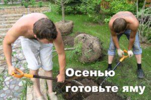 Копание ямы для сливы
