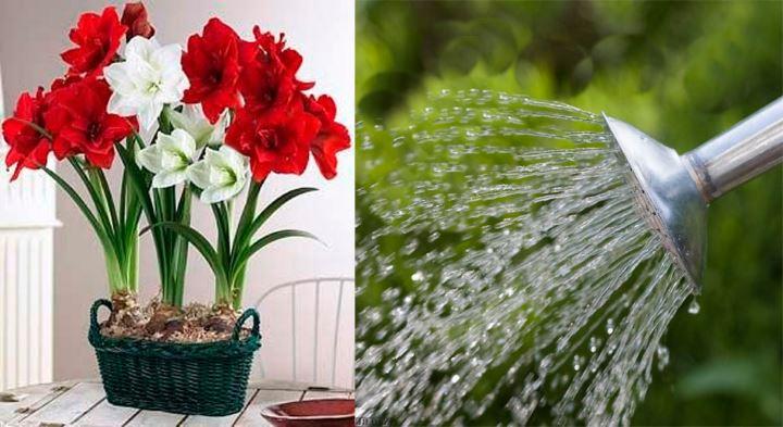 Цветок гиппеаструма и лейка