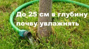Шлангом поливаем сливовое дерево