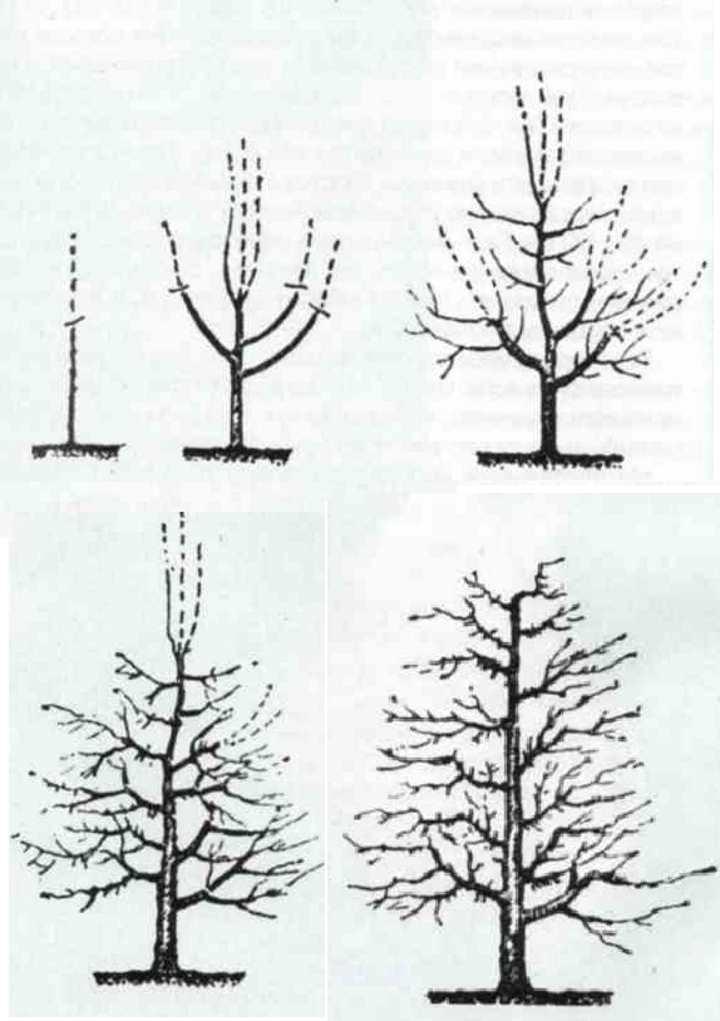 Схема обрезки ветвей у груши