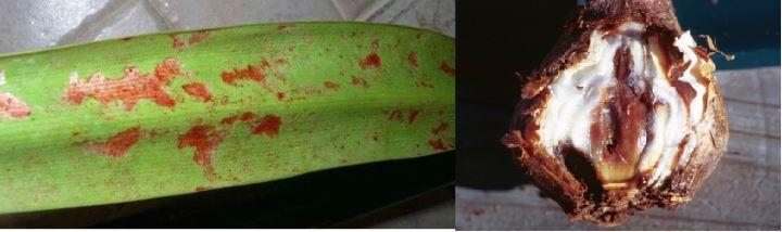 Заболевания листьев и луковицы амариллиса