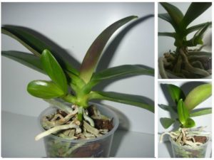 Ответвление корней у орхидей