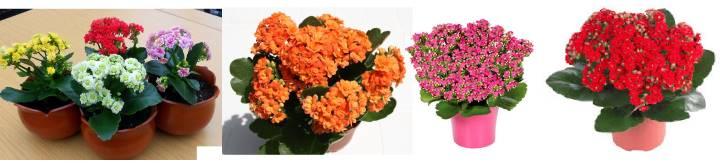 цветущие каланхоэ