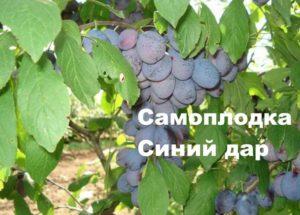 Самоплодный сорт сливы Синий дар