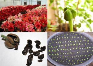 Получение семян от гиппеаструма