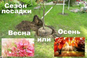 Весна и осень - сезоны для посадки сливы