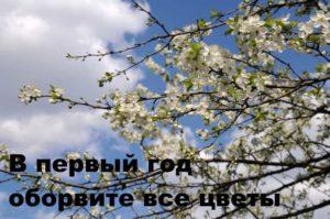 Цветущие ветви сливы