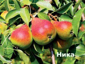 Плоды груши сорта Ника