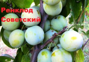 Слива сорта Ренклод советский