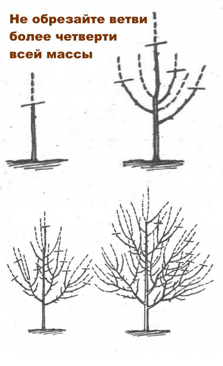 Схема формирования дерева сливы