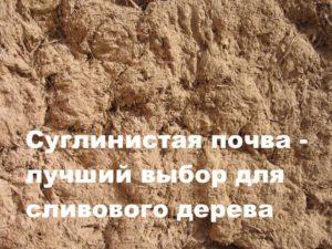 Почва для посадки сливового дерева