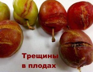 Плоды сливы трескаются от переизбытка влаги