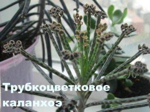 Каланхоэ трубкоцветковое