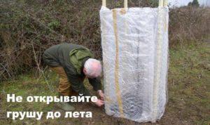 Сооружение для укрытия саженца груши